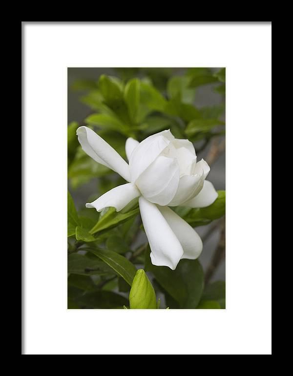 Gardenia Framed Print featuring the photograph Fragrant White Gardenia Blossom by Kathy Clark
