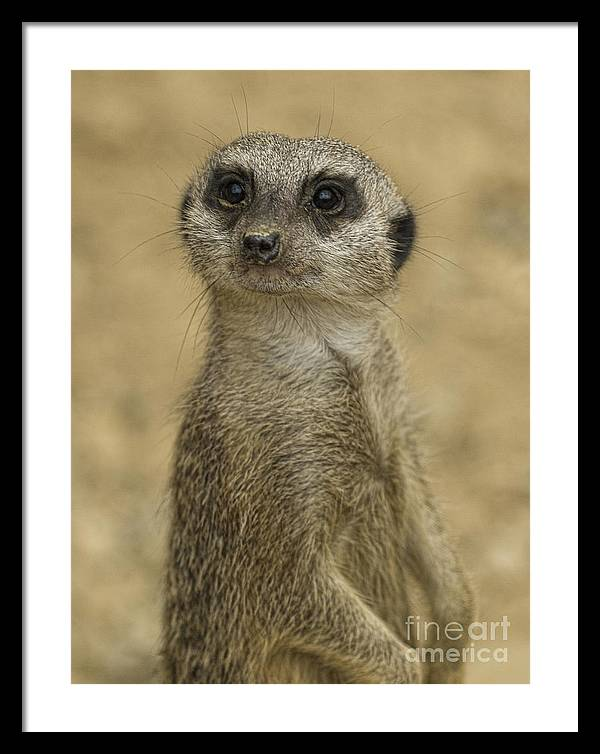 Meerkat Framed Print featuring the photograph Frank the meerkat by Steev Stamford