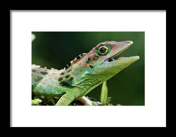 Fn Framed Print featuring the photograph Frasers Anole Anolis Fraseri Male by James Christensen