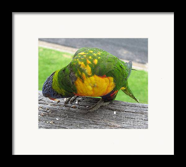 Lorikeet Framed Print featuring the photograph Free Feed by Joanne Kocwin