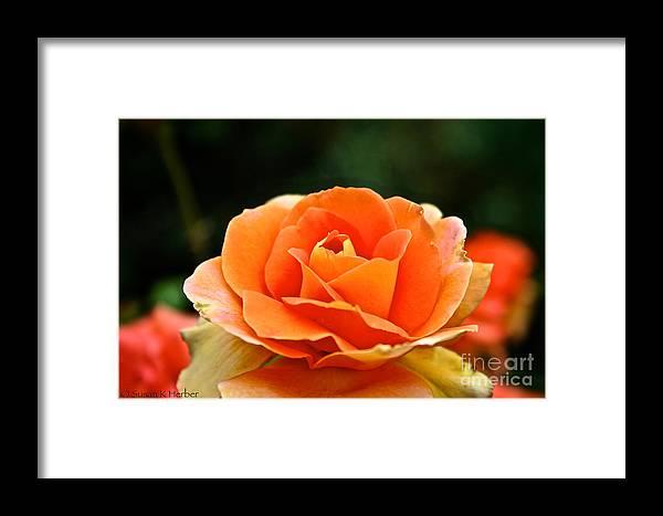 Garden Framed Print featuring the photograph Fresh Peach Petals by Susan Herber