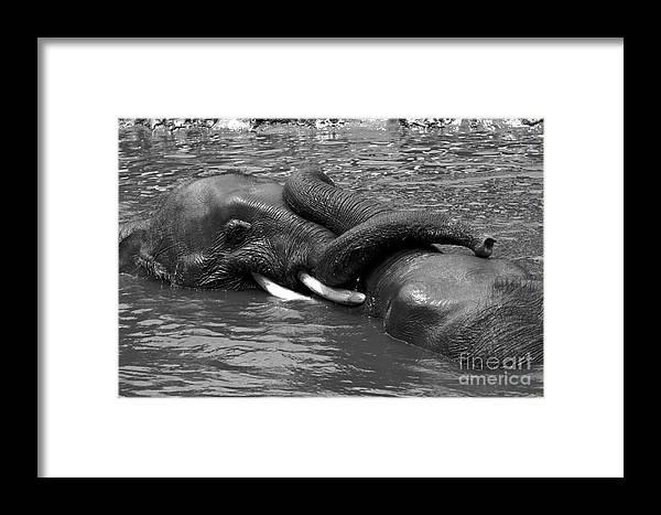 Elephants Framed Print featuring the photograph Friend Ship. by Gary Bridger