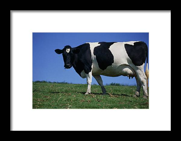 Bos Taurus Framed Print featuring the photograph Friesian Cow by David Aubrey