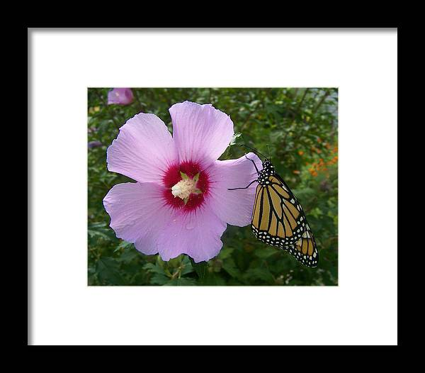 Rose Of Sharon Framed Print featuring the photograph From First Flight by Natalie Long