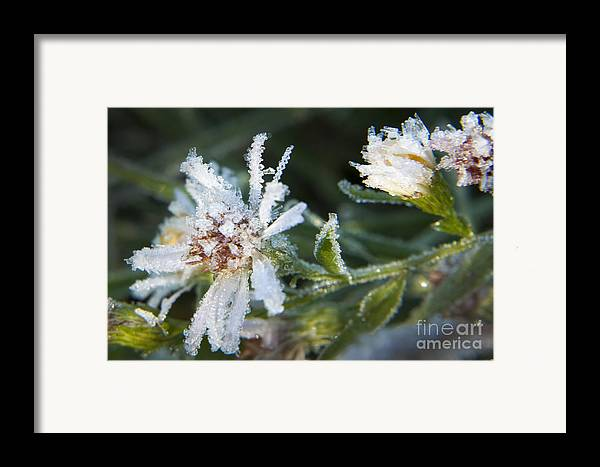 Daisy Framed Print featuring the photograph Frostbite Flower by Darleen Stry