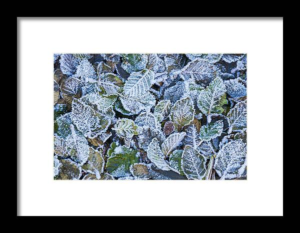 Leaves Framed Print featuring the photograph Frosty Leaves by Greg Vaughn