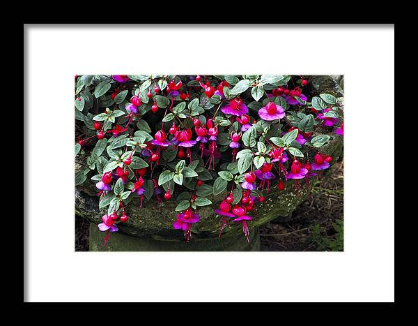 'swanley Gem' Framed Print featuring the photograph Fuchsia 'swanley Gem' by Archie Young