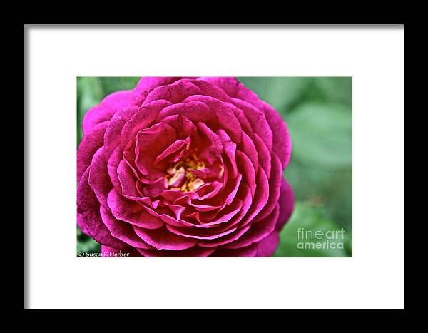 Garden Framed Print featuring the photograph Full Bloom by Susan Herber