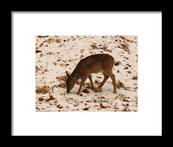 Fawn Framed Print featuring the photograph Fuzzy Fawn Forages by Rrrose Pix