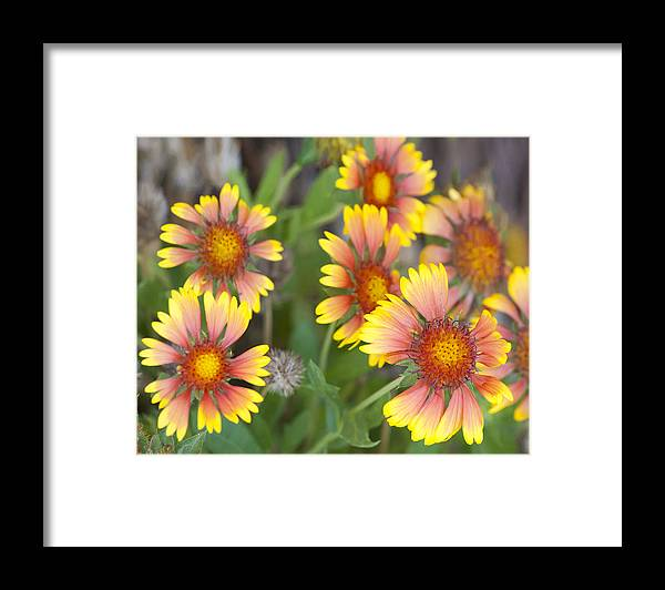 Flowers Framed Print featuring the photograph Gaillardia by Mike Darrah
