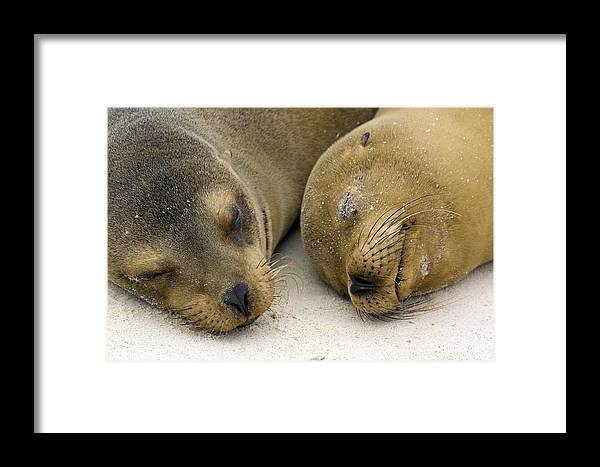 Zalophus Wollebacki Framed Print featuring the photograph Galapagos Sea Lions by Bob Gibbons