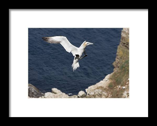 Animals Framed Print featuring the photograph Gannet Landing by Howard Kennedy