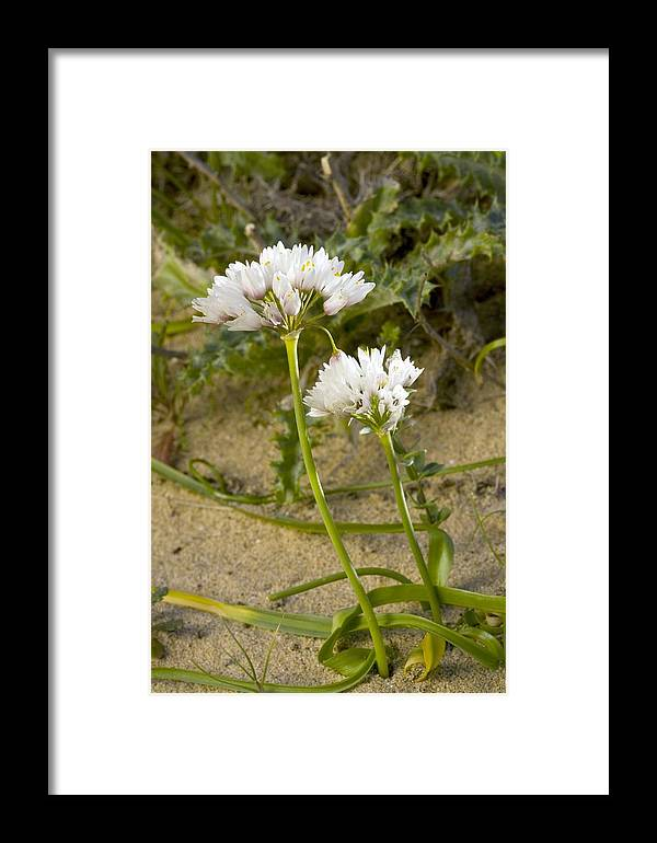 Garlic Framed Print featuring the photograph Garlic (allium Sub Villosum) by Bob Gibbons