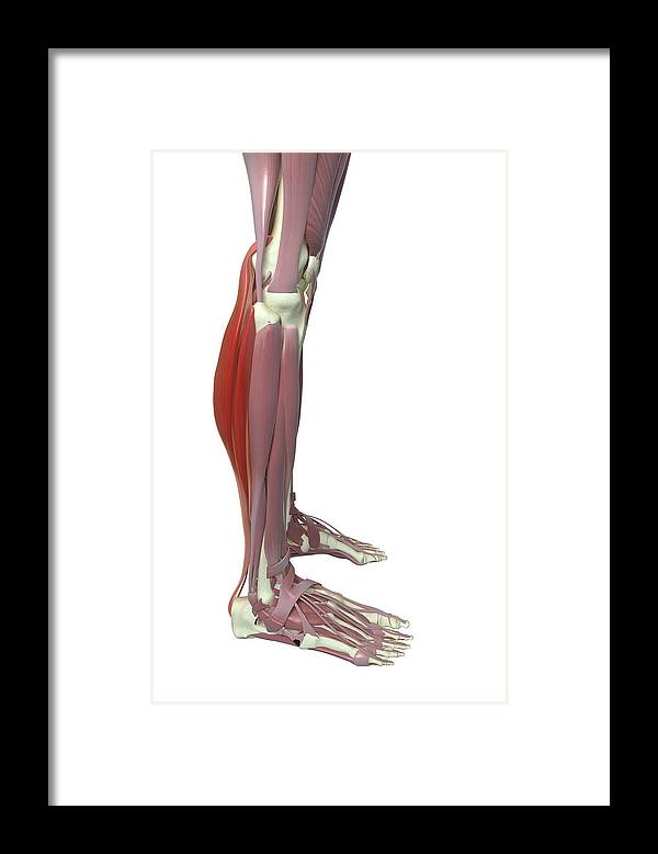 Vertical Framed Print featuring the photograph Gastrocnemius And Soleus Muscle by MedicalRF.com