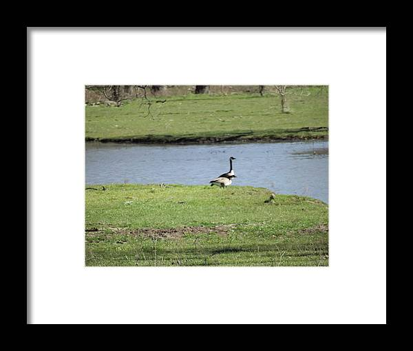 Geese Framed Print featuring the photograph Geese by Shannon Bever