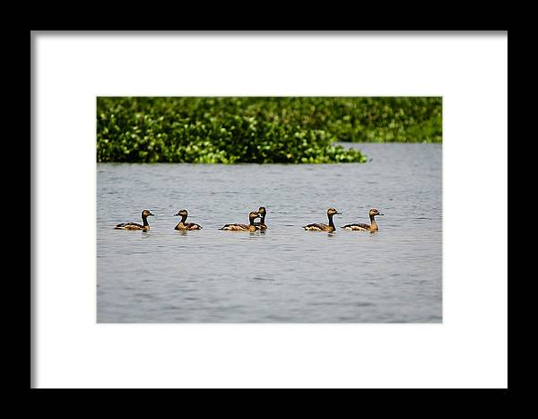 Ducks Framed Print featuring the photograph Get Your Ducks In A Row by Saurav Pandey