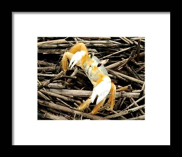 Fish Framed Print featuring the photograph Ghost Crab by Edmund Akers