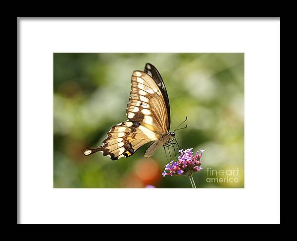 Giant Swallowtail Framed Print featuring the photograph Giant Swallowtail Butterfly by Robert E Alter Reflections of Infinity