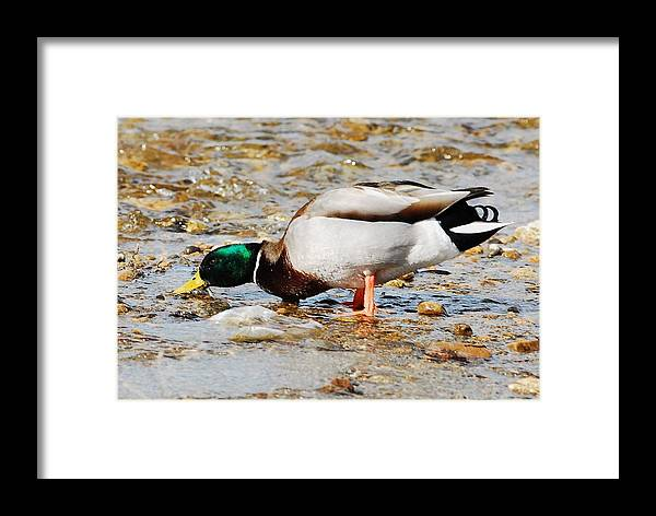 Duck Framed Print featuring the photograph Gimmee A Drink by Don Mann