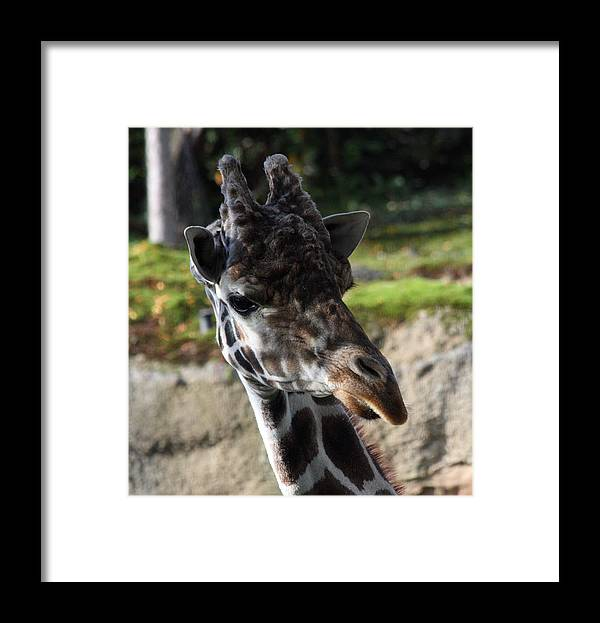 Oregon Framed Print featuring the photograph Giraffe - 0001 by S and S Photo