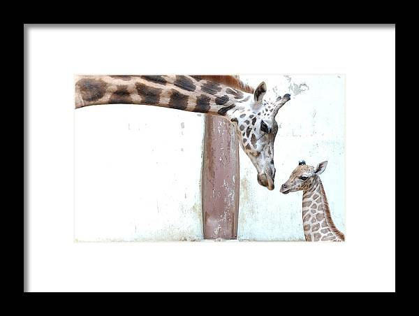 Horizontal Framed Print featuring the photograph Giraffe by Floridapfe from S.Korea Kim in cherl