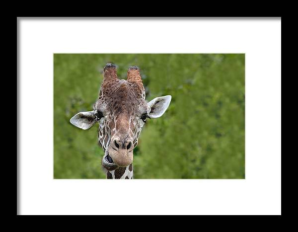 Africa Framed Print featuring the photograph Giraffe by Rudy Umans