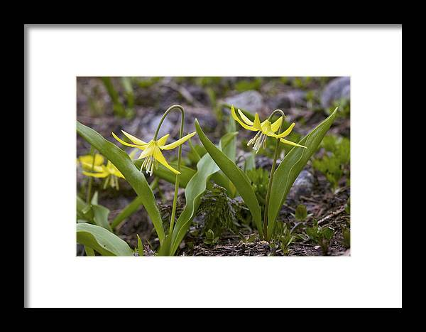 Yellow Avalanche Lily Framed Print featuring the photograph Glacier Lilies (erythronium Montanum) by Bob Gibbons