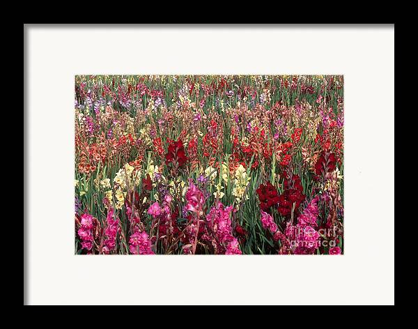 Nature Framed Print featuring the photograph Gladioli Garden In Early Fall by Yva Momatiuk and John Eastcott and Photo Researchers