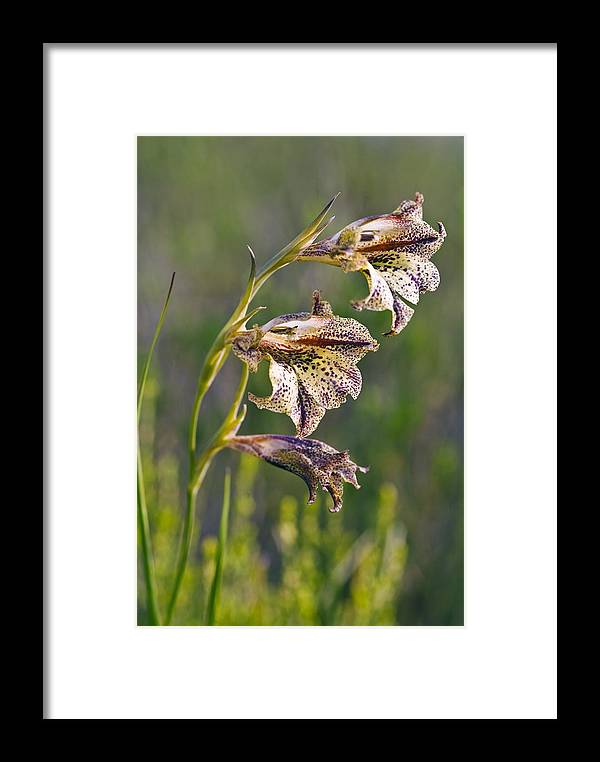 Gladiolus Maculatus Framed Print featuring the photograph Gladiolus Maculatus Flowers by Peter Chadwick