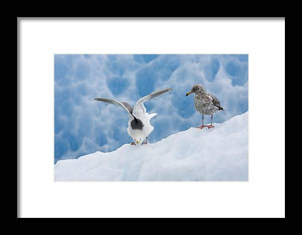 Mp Framed Print featuring the photograph Glaucous-winged Gull Larus Glaucescens by Konrad Wothe