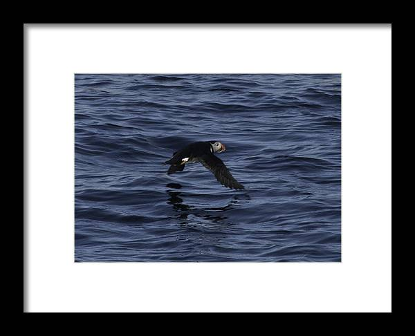 Atlantic Puffin Framed Print featuring the photograph Gliding Puffin by Daniel Hebard