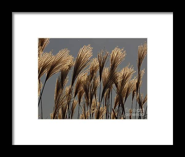 Grasses Framed Print featuring the photograph Glinting by Rrrose Pix