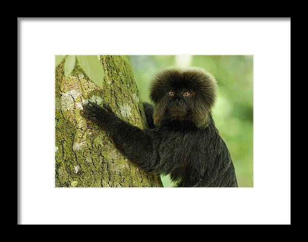 Mp Framed Print featuring the photograph Goeldis Monkey Callimico Goeldii by Thomas Marent