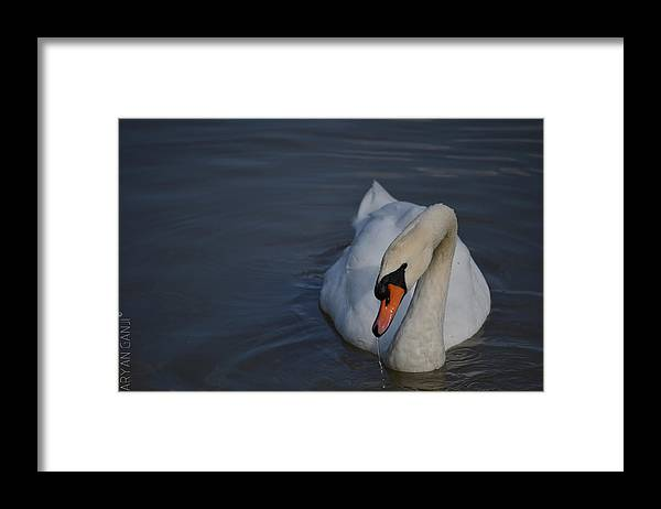 Swan Framed Print featuring the photograph Going for a Dip by Aryan Ganji