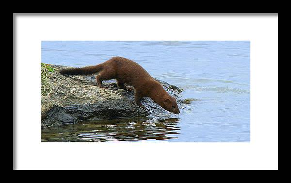 Mink Framed Print featuring the photograph Going Swimming by Don Downer