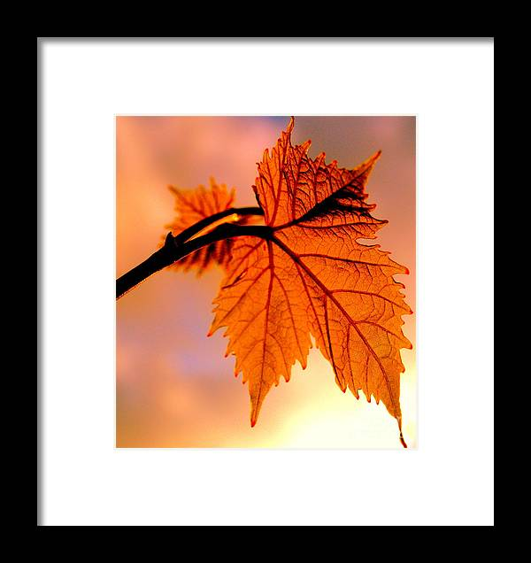 Leaf Framed Print featuring the photograph Gold In June by Michael Canning