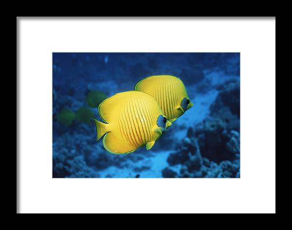 Chaetodon Semilarvatus Framed Print featuring the photograph Golden Butterflyfish Pair by Georgette Douwma