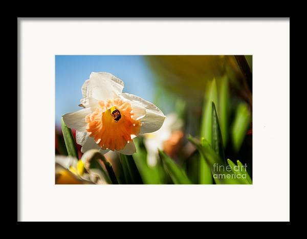 Daffodils Photographs Framed Print featuring the photograph Golden Daffodils by Venura Herath