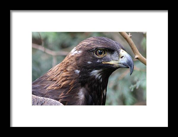 Northwest Trek Framed Print featuring the photograph Golden Eagle - 0001 by S and S Photo
