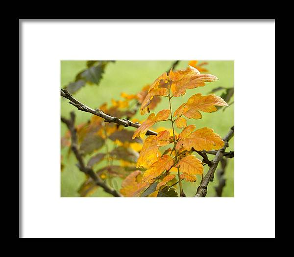 Fall Leaves Framed Print featuring the photograph Golden Rain Tree by Lisa Tate