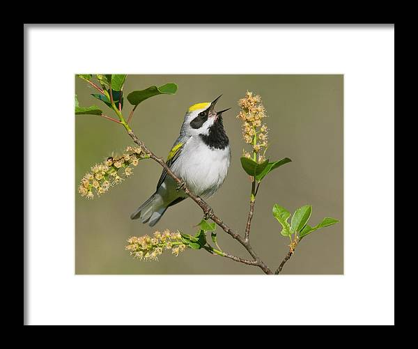Mp Framed Print featuring the photograph Golden-winged Warbler Vermivora by Steve Gettle