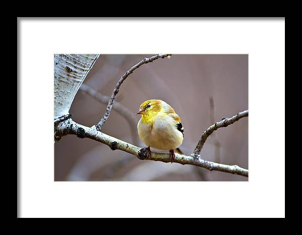Bird Framed Print featuring the photograph Goldfinch In March by Merle Ann Loman