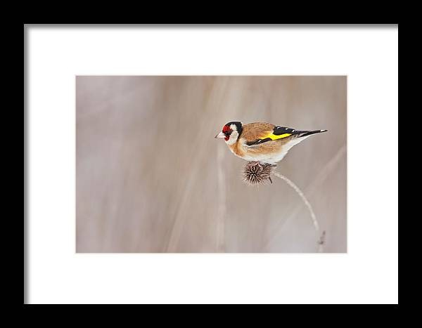 Goldfinch Framed Print featuring the photograph Goldfinch by Michele Pietrangelo