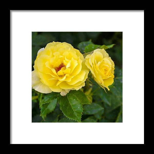 Good Morning Yellow Flowers! #flowers Framed Print by Becca Watters