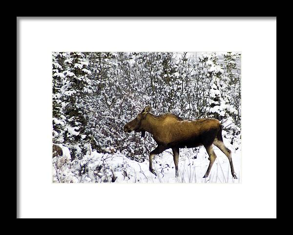 Alaska Framed Print featuring the photograph Gotta Run by Jim and Kim Shivers