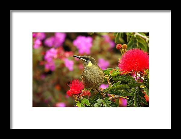 Graceful Honeyeater Framed Print featuring the photograph Graceful Honeyeater by Andrew McInnes