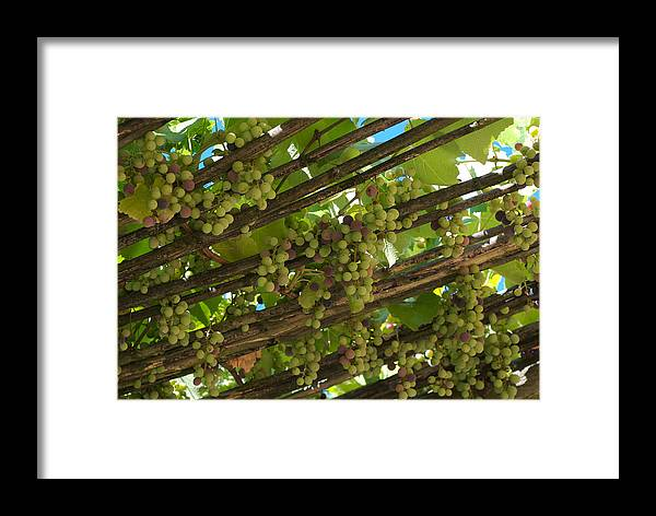 Nobody Framed Print featuring the photograph Grapes Grow On Vines Draped by Heather Perry