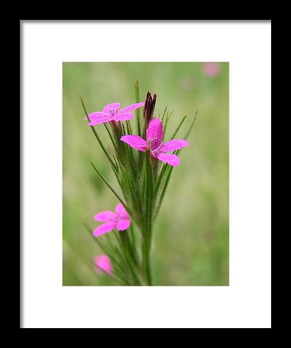 Flower Framed Print featuring the photograph Grass Pink Bouquet by John Myers