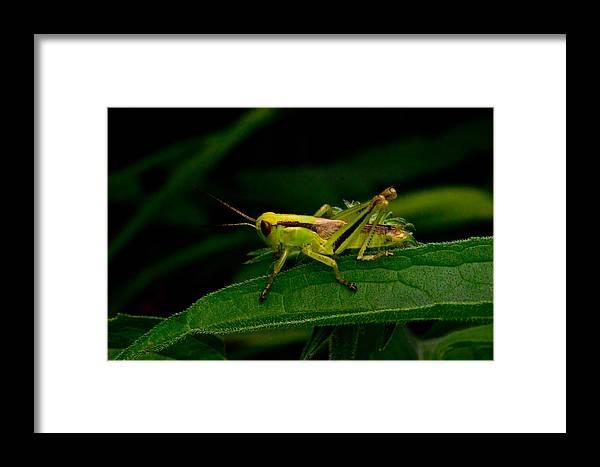 Grasshopper Framed Print featuring the photograph Grasshopper 1 by Douglas Barnett