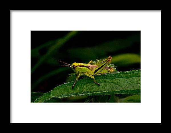 Grasshopper Framed Print featuring the photograph Grasshopper 2 by Douglas Barnett